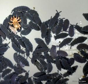 Springtails and their mitey friend