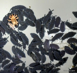 Springtails and their mitey friend