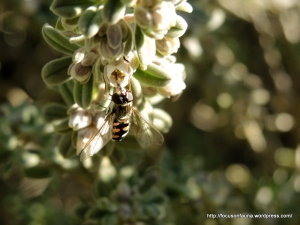Hover fly 1