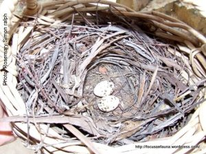 Shrike-thrush eggs