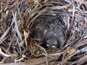 Shrike-thrush young