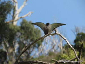 Dusky Woodswallow 1