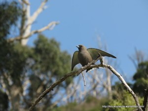 Dusky Woodswallow 2
