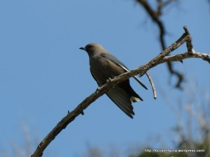 Dusky Woodswallow 3