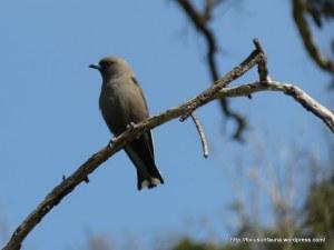 Dusky Woodswallow 4