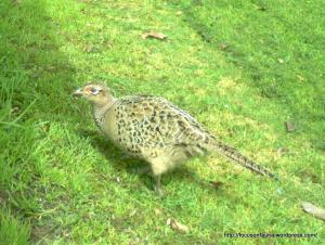 Common Pheasant
