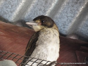 Young butcherbird 2