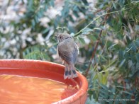 Brown Thornbill, we think
