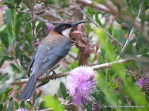 Eastern Spinebill (m)