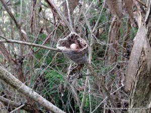 Grey Fantail's nest with egg