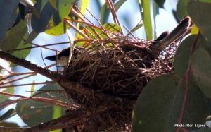 Dad on nest