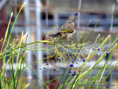 Yellow-faced Honeyeater and Dianella sp.