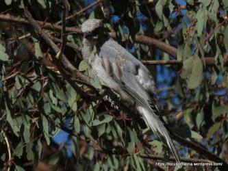 Cuckoo-shrike 1