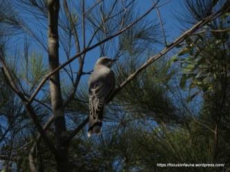 Cuckoo-shrike 2