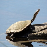 Snake-necked Turtle