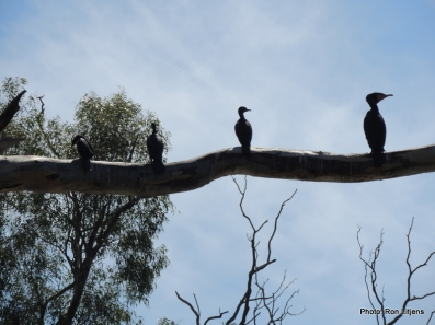 A variety of cormorants