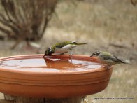 White-naped and Brown-headed Honeyeaters