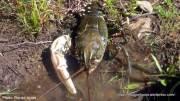 Murray River Crayfish