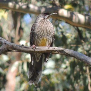 A rare sight - a wattlebird at rest