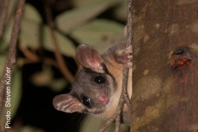 Leadbeater's Possum 06