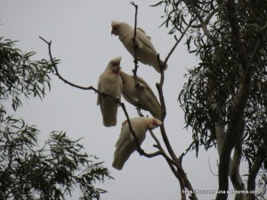 Long-billed Corellas