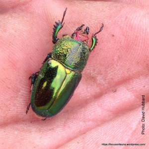 DH's Xmas beetle