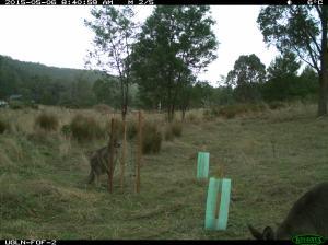 Kangaroo at a wire mesh tree guard.