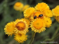 Beetles on Common Everlasting