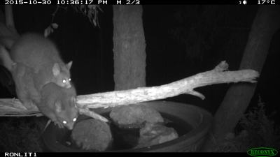 brush tailed possum IMG_0323