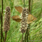 Common Browns on Small GrassTree