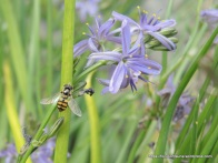 Common Hover Fly on Blue Grass-lily