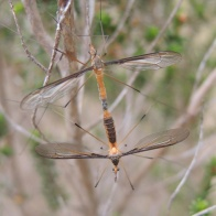 Crane flies - 'pollination' of a different sort