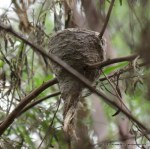 Grey Fantail's nest