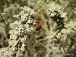 Honey bee on DownyZieria