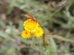 Ichneumon wasp on CommonEverlasting