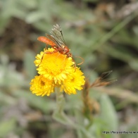 Ichneumon wasp on Common Everlasting