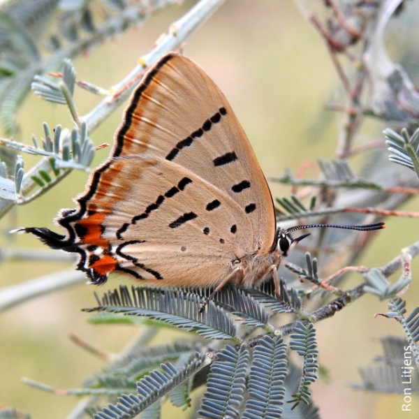 Imperial Hairstreak (Jalmenus evagoras) DSCN5623