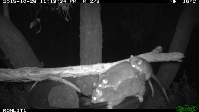 ring tailed possum IMG_5339