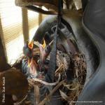 Shrike-thrush chicks