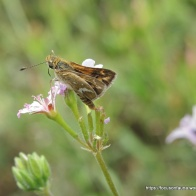 White-banded Grass-dart on Austral Stork's-bill