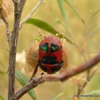 Red Jewel Bug, Choerocoris paganus
