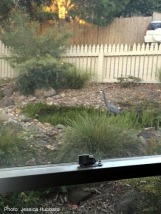 Heron in suburbia