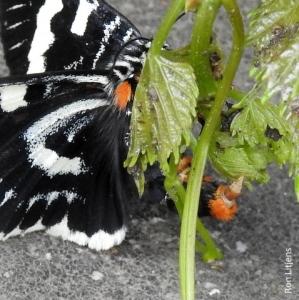 Australian Grapevine Moth DSCN7977