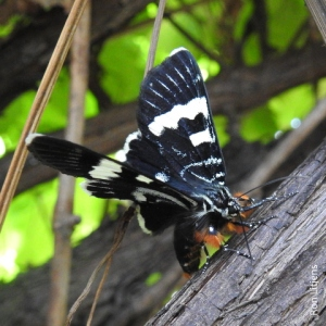 Australian Grapevine Moth DSCN7987