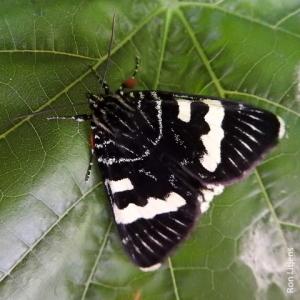 Australian Grapevine Moth (Phalaenoides glycinae) DSCN8003
