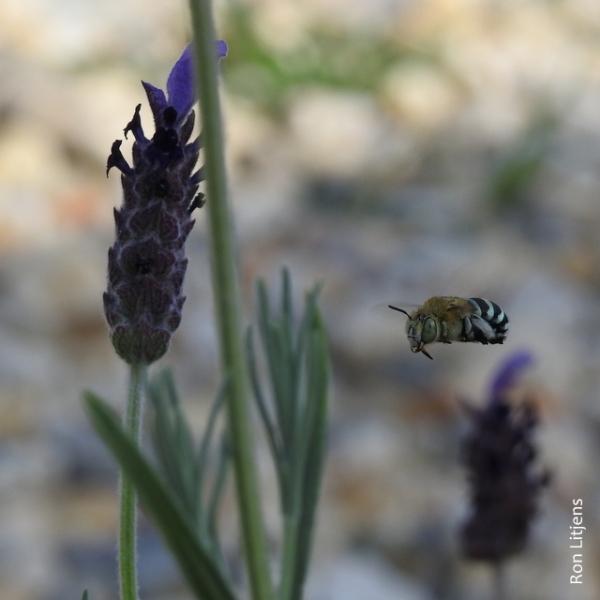 Blue Banded Bee DSCN6573-001