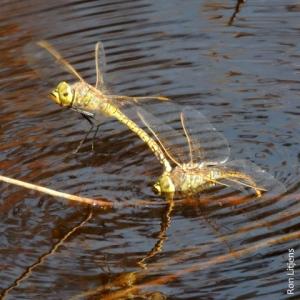 dragonfly DSCN6570