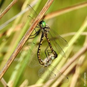 dragonfly DSCN8439