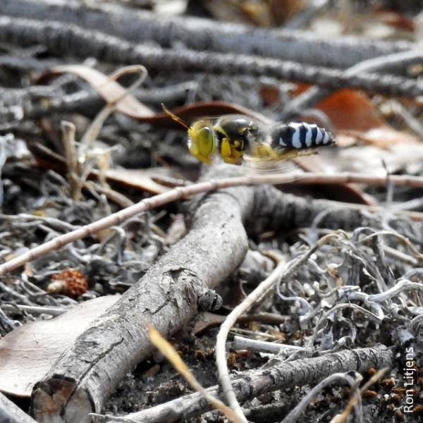 Sand Wasp (Bembix sp) DSCN7120-001