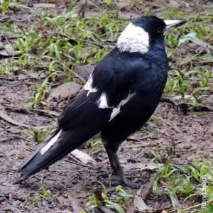 Black backed magpie DSCN9589